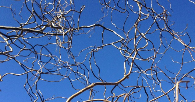 Curly Willow Branches Against Blue Sky Montara CA small life details