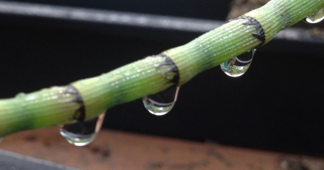 Equisetum with Rain Drops Montara CA small life details