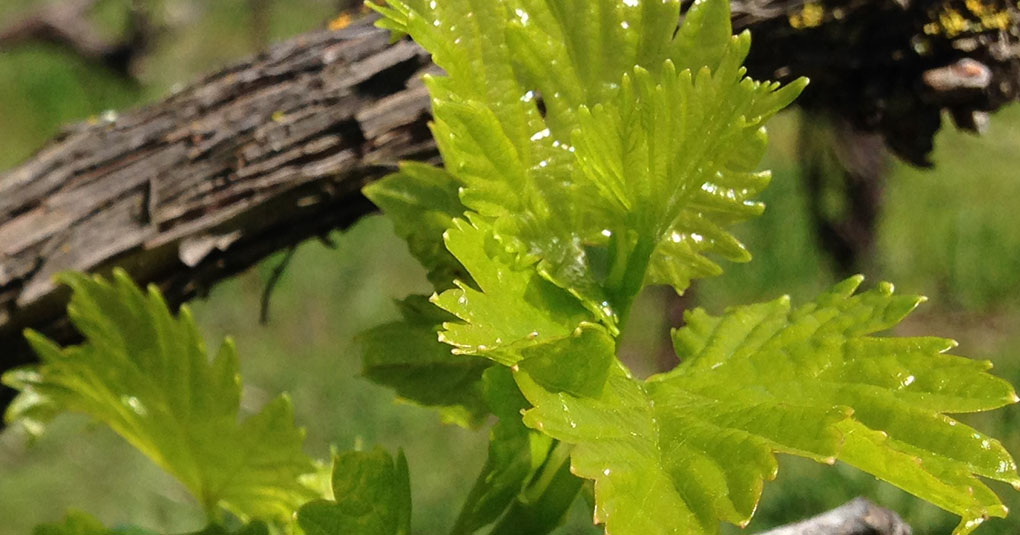 Young Grape Leaves Gilroy CA small life details