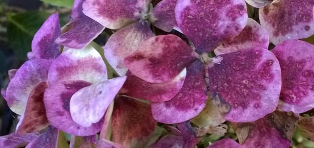 Hydrangea Flower in Autumn