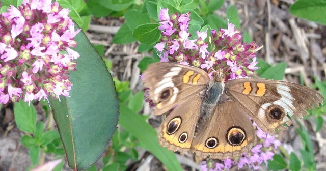 Buckeye Butterfly Nimmo Garden VA