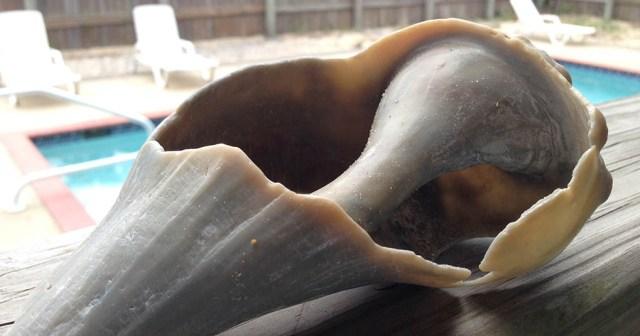 Seashell Avon Outer Banks NC