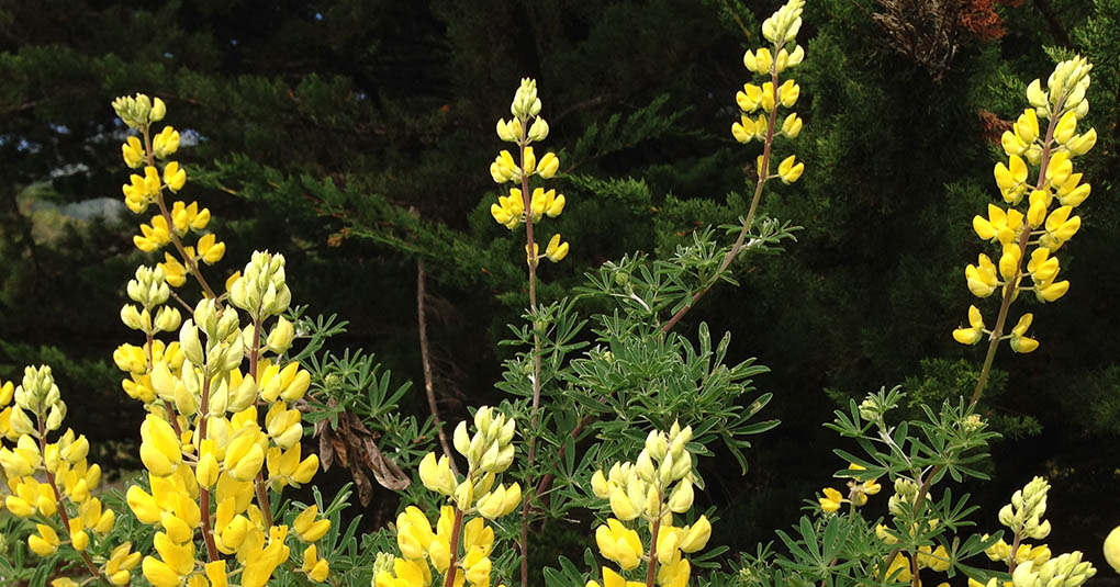 Yellow Bush Lupine McNee Ranch State Park CA