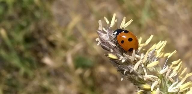 Ladybug on Timothy Hay Montara CA