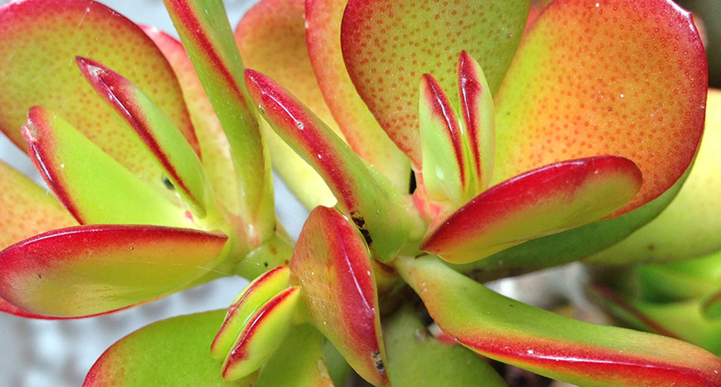 Jade Plant Montara CA small life details