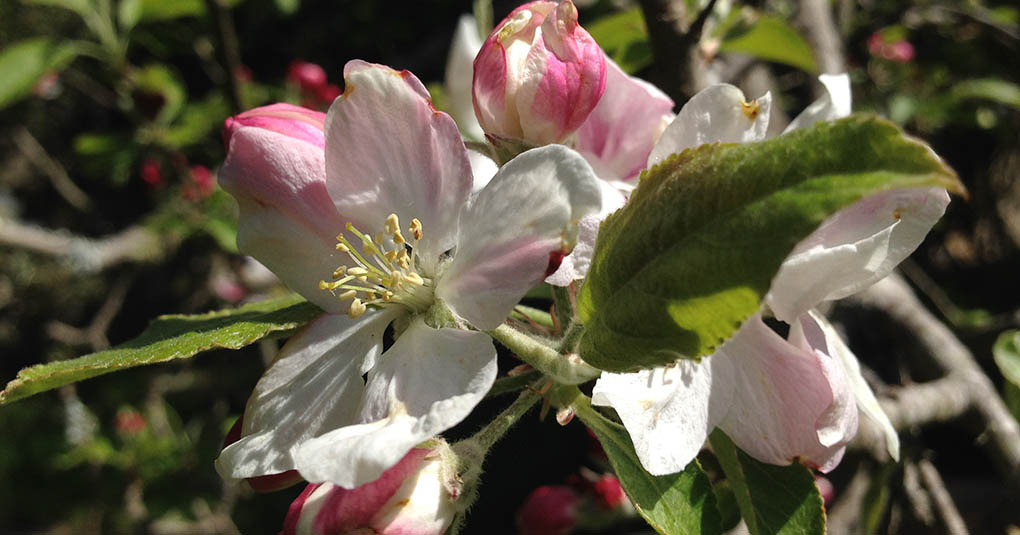Apple Blossoms Montara CA small life details