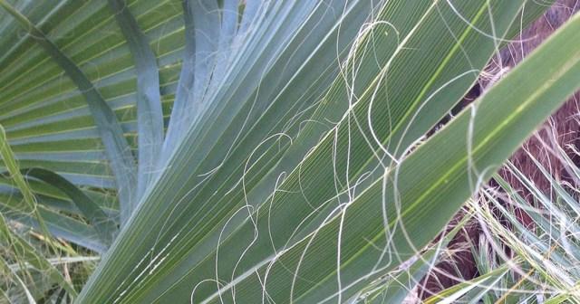 Palm Leaves Layers Anza Borrego