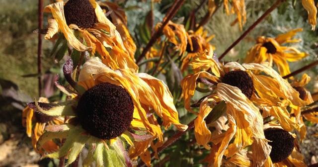 Rudbeckia Dying Denver Botanic Garden