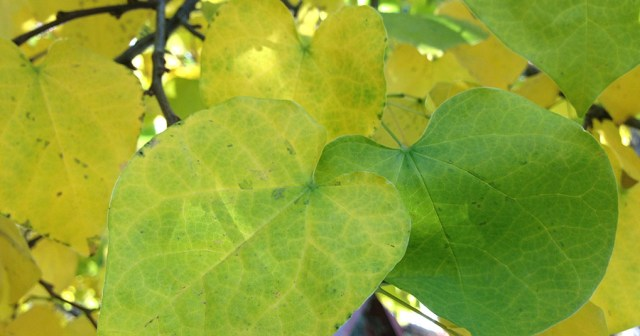 Yellow Green Fall Leaves Denver CO