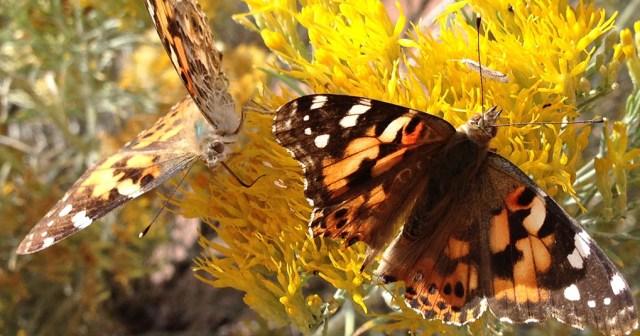 Butterflies Garden of the Gods CO