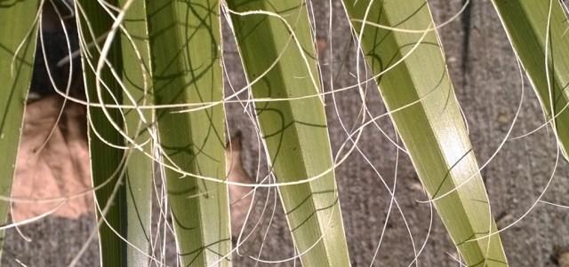 Palm Leaf Threads Davis CA