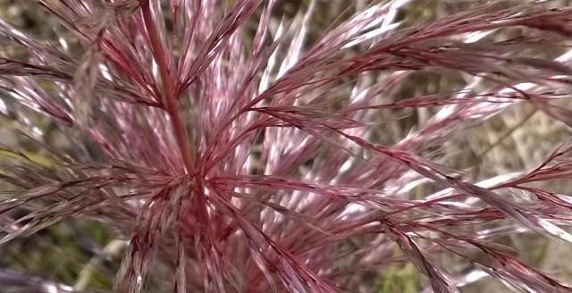Pampas Grass Flowers Montara CA