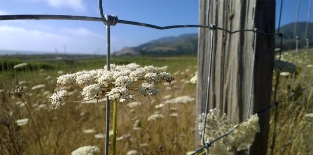 Queen Anne's Lace and Fence Post  Montara CA