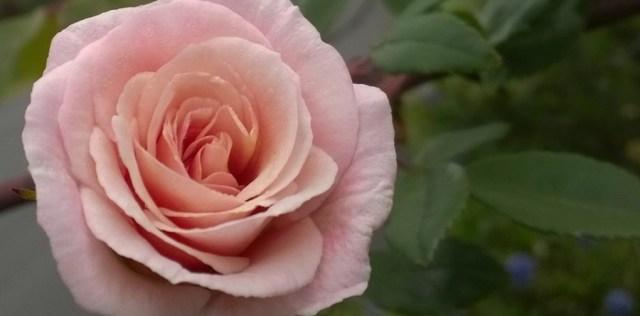 Rose at Twilight Montara CA