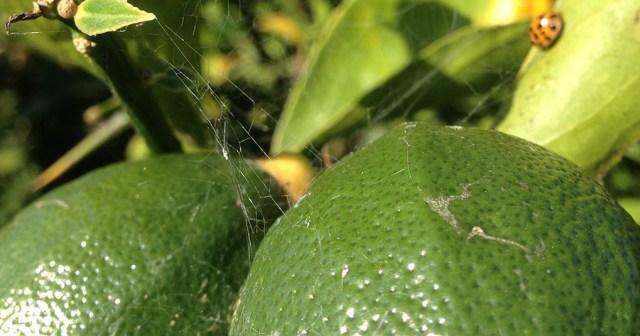 Green Lemons in Garden with Ladybug Montara CA