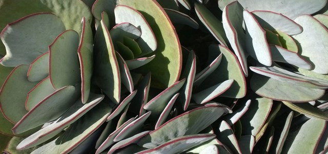 Succulent Leaves in San Francisco on a Sunny July day
