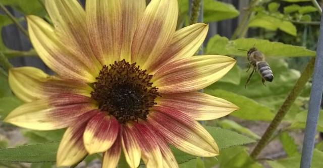 Sunflower with Flying Bee Montara CA
