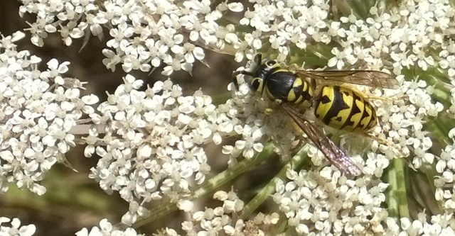 Yellow Jacket on Queen Anne's Lace Montara CA