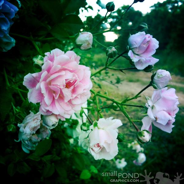 grand_roses1