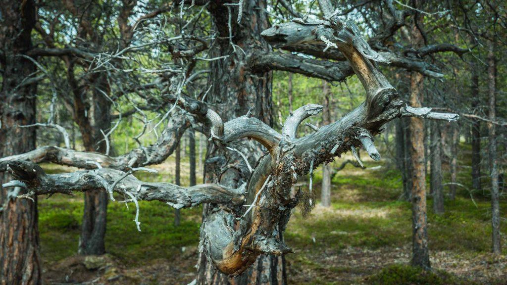 Un ramo di un vecchio pino secco contorto