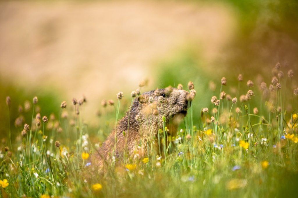 Marmotta-gran-paradiso