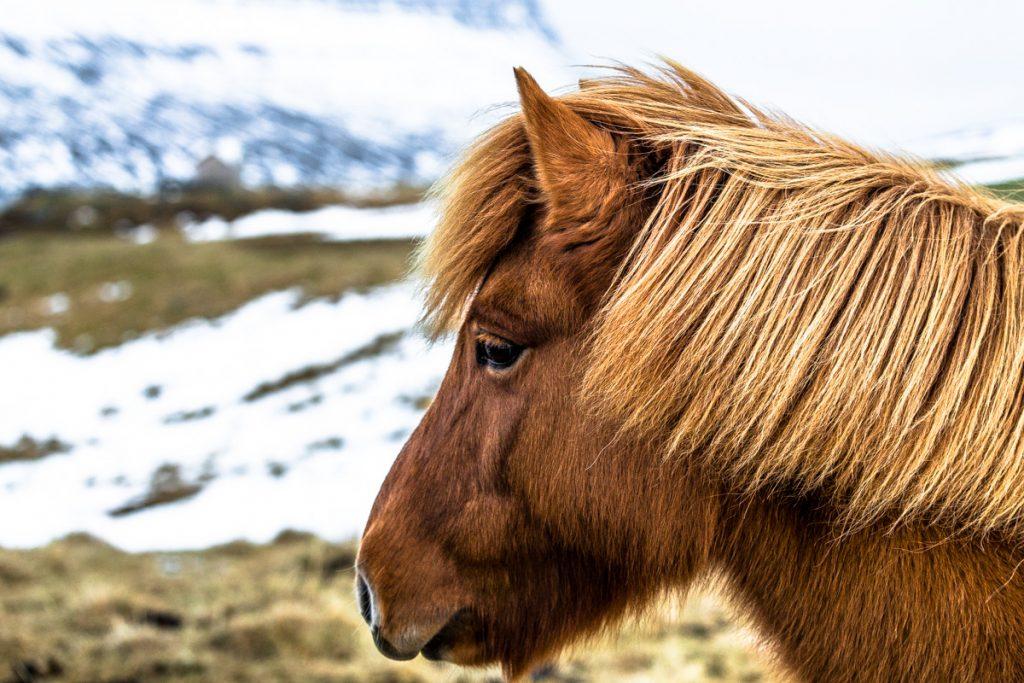 Cavallo-islandese