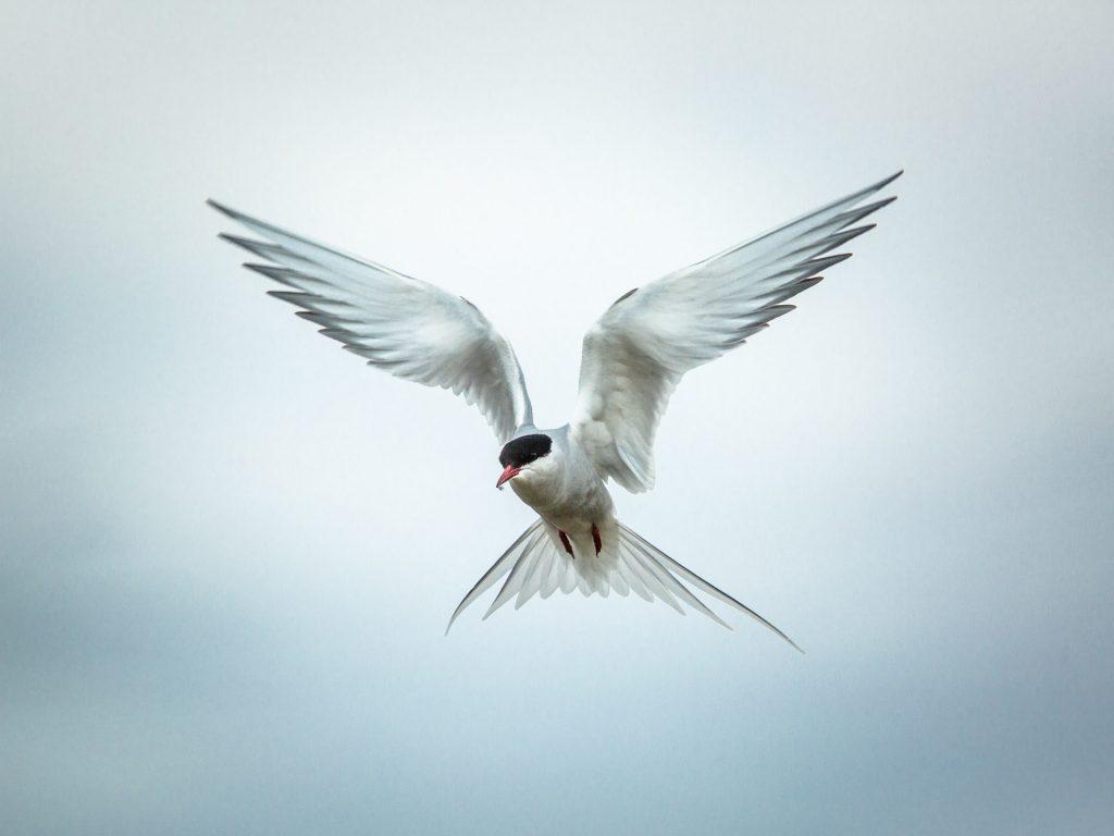 Sterna artica in volo esegue lo spirito santo