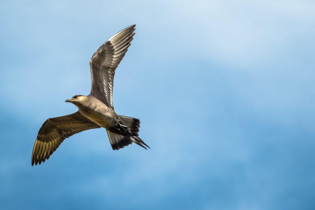 Labbo codalunga in volo sull'isola di Vardø
