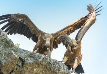 Grifoni lottano al salto del gitano Monfragüe