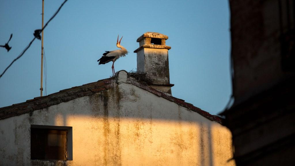Cicogna sul tetto di una casa di El Gordo poco dopo l'alba