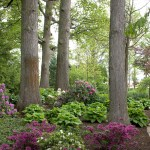 Elegance Beauty Rhododendron Azalea Smalls Landscapingsmalls Landscaping