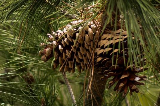 Pine fresh