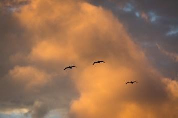 Pelicans ahead of the storm