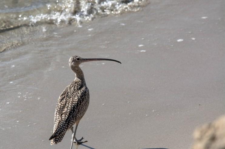 strolling sandpiper