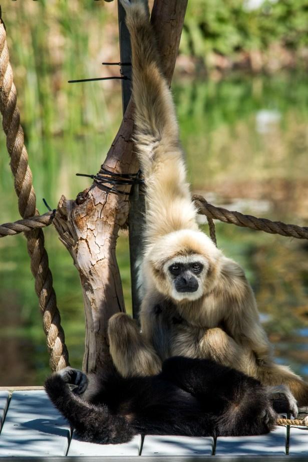 grooming gibbon