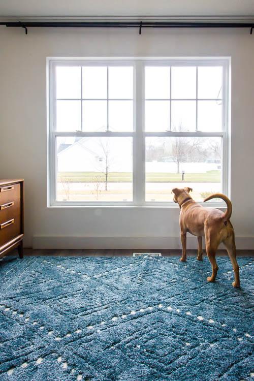 chien regardant la fenêtre avec des murs blancs ondulés bleus