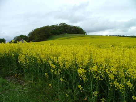 Oilseed rape field | Image by Dave Fergusson | CC BY-SA 2.0