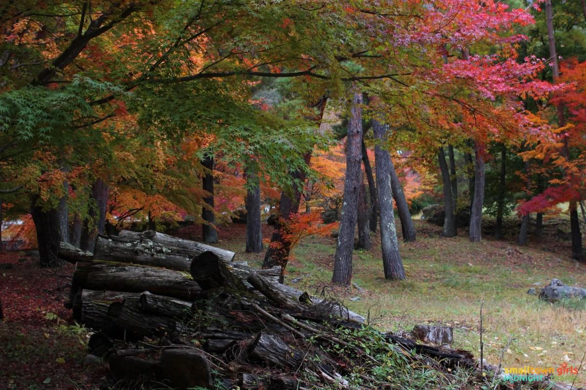 SGMT Japan Lake Kawaguchi Momiji Kairo 05 Logs and autumn leaves