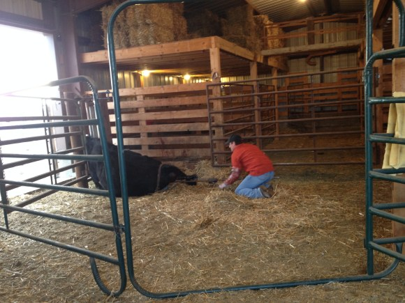 pulling a calf