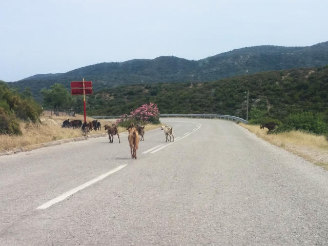Goats on the road in Halkidiki Greece.