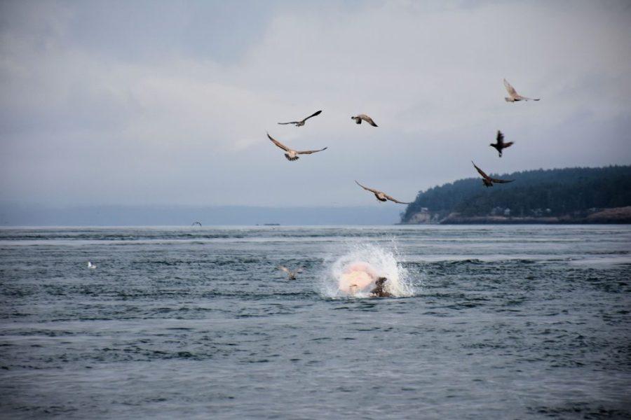 Sea lion fighting a halibut in the San Juan Islands.