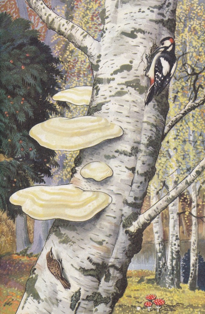 illustration showing A woodpecker and a tree-creeper on a birch tree. Razor-strop fungus is killing the birch tree. A yew tree with red berries and fly-ageric toadstools can also be seen.