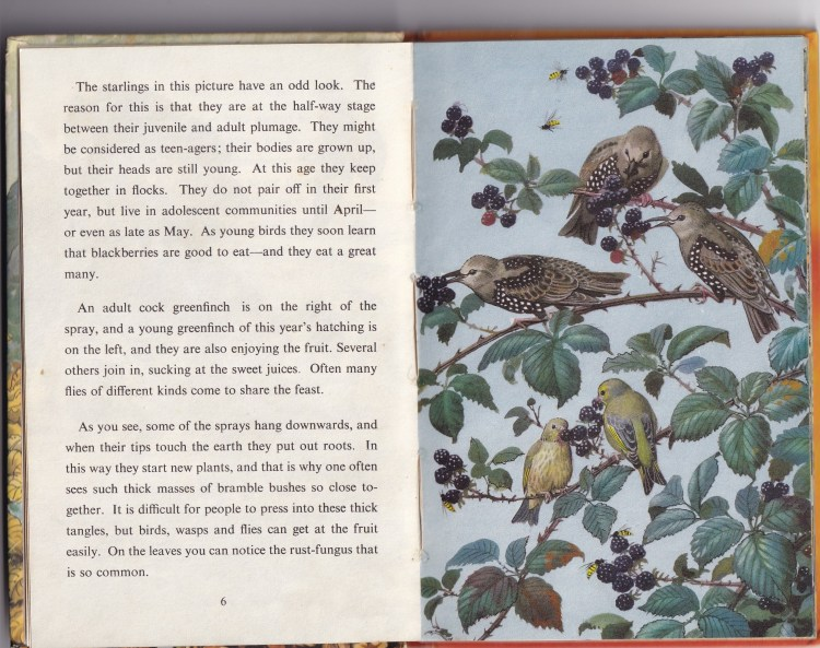 2 pages from 'What to look for in Autumn'. One page text, the other an illustration of starlings and greenfinches eating berries.