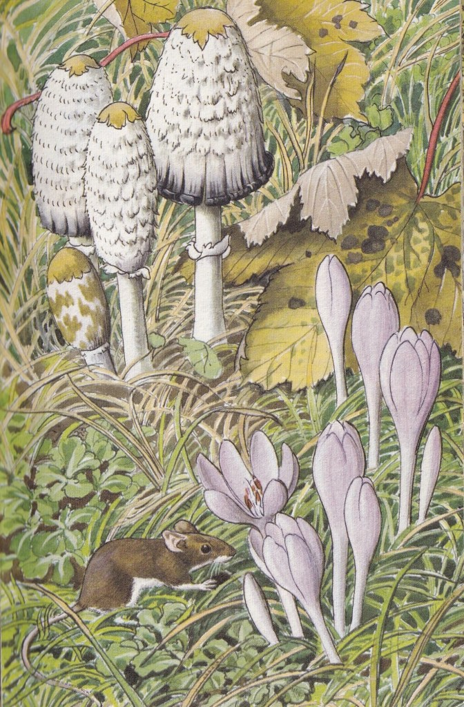 illustration showing a field mouse, meadow saffron, ink-cap toadstool and sycamore leaves