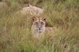 Naibor - female lioness
