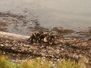 Ducklings at Green Lake