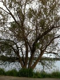 Tree at Green Lake