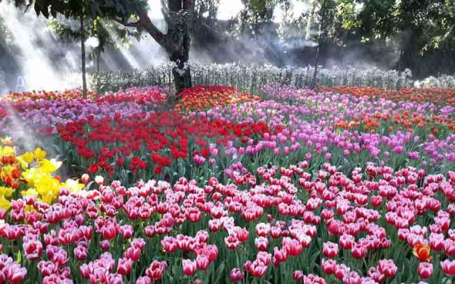 Mighty Tulip Farm Bloom Chiang Rai Park Thailand