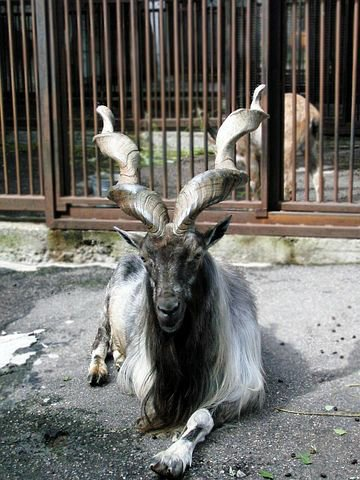 The markhor