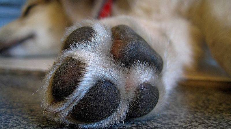 dogs chew on their own feet